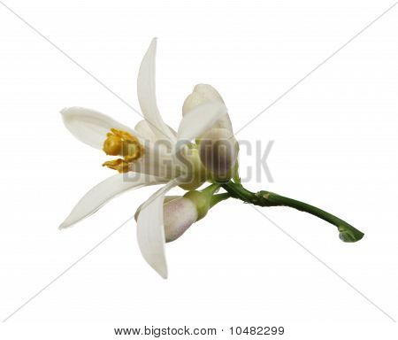 Lemon Flower On The White (citrus Limon)