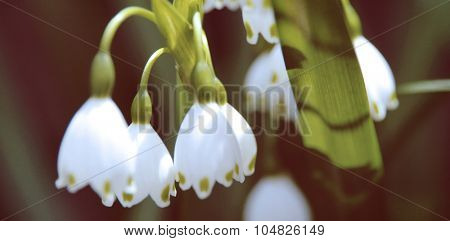 Snowdrops in Japan Flower Beautiful Concept