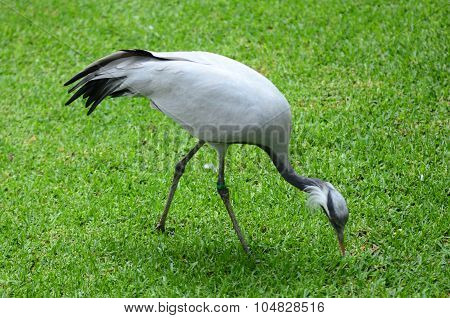 Grey crane in Loro Park in Puerto de la Cruz on Tenerife, Canary Islands, Spain