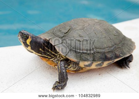 Green and yellow common turtle located near water