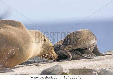 Baby And Mother Sea Lion On The Shore