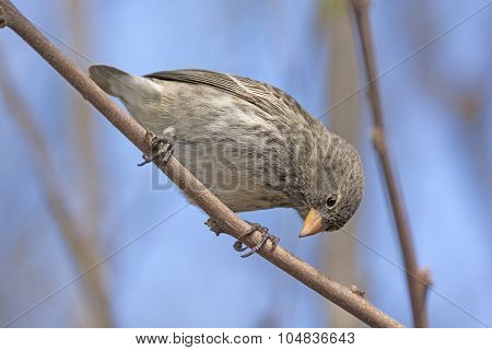 Small Female Ground Finch