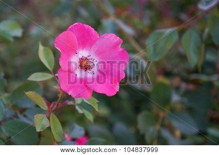 Young Elizabeth Taylor hybrid tea rose.