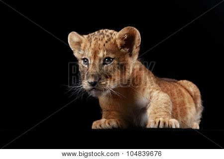 Little lion cub