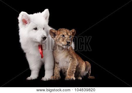 Little lion cub and puppy white Swiss Shepherd