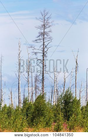 Landscape Forest, Fallen Trunks Of Trees Without Crowns, After The Heatwave And Fires, Selective Foc