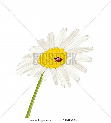 Closeup camomile flower with ladybug isolated on white backgroun