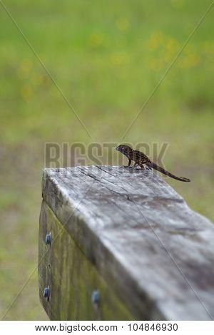 Gecko On Fence