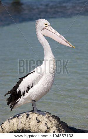 Pelican at seashore