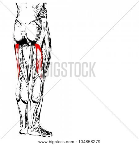 Concept or conceptual 3D gastrocnemius human upper leg anatomy or anatomical and muscle isolated on white background