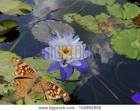The Butterfly fling to the Lotus for Honey, butterfly