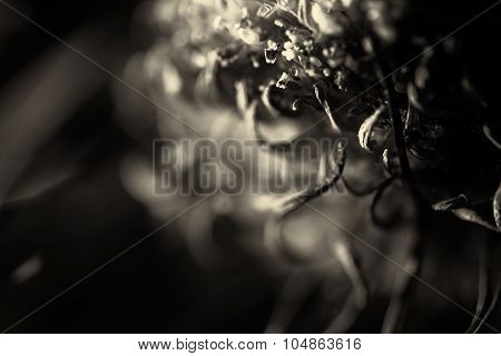 Dying Purple Chrysanthemum Flower Background