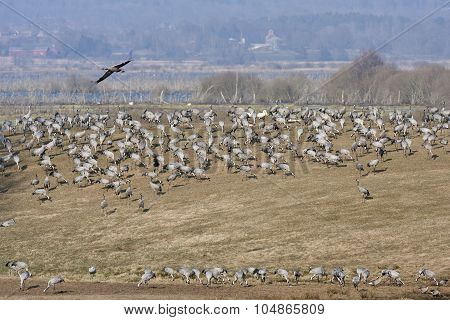 View of cranes in bird migration.
