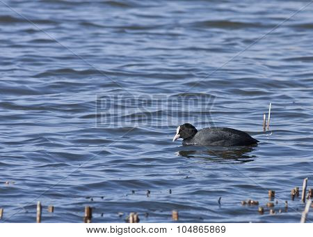 A coot, Fulica on the water.