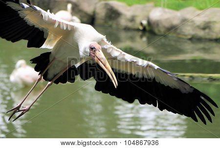 Yellow Billed Stork Bird Flying Near Water