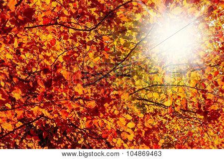 Sun Rays Through Autumn Colored Beech Leaves