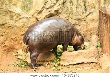 Hippopotamus Eating Vegetable In A Zoo