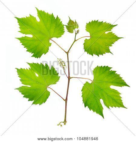 fresh grape leaves isolated on white