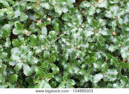 Kermes Oak Prickly Leaves