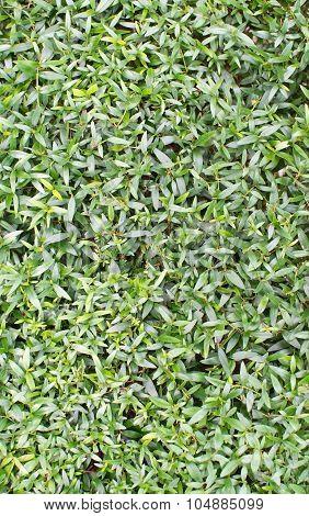 Myrtle Leaves Full Frame