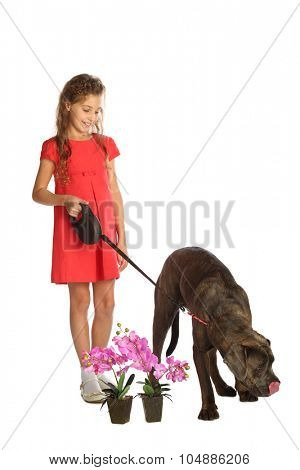 Happy beautiful girl in red dress holding a big dog on a leash near orchids in pots isolated on white