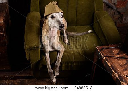 Dog breeds Whippet in the clothes of a soldier