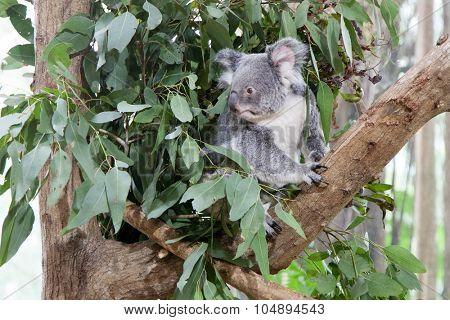 Koala bear resting on a tree