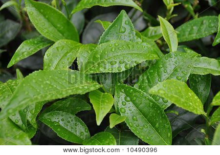 Tea Grdens South India