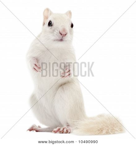 Eastern Chipmunk, Tamias Striatus, 2 Years Old, Standing In Front Of White Background