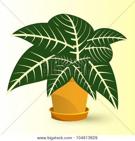 sanchezia plant in a pot