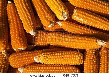 Corn background closeup