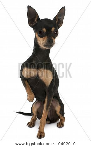 Prague Ratter Or Prazsky krysarik, 2 Years Old, Sitting In Front Of White Background