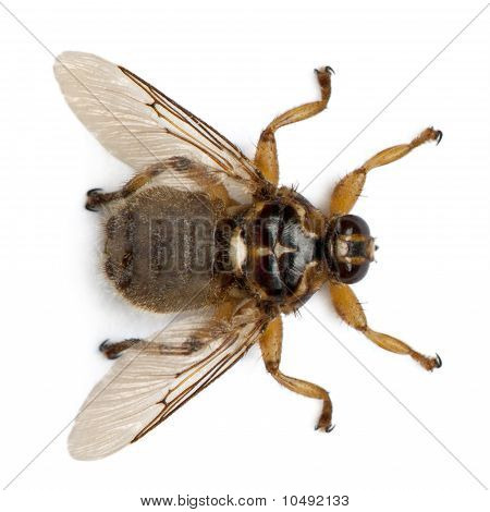 Hippobosca Equina, Or The Forest Fly, Hippoboscidae, In Front Of White Background