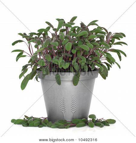Purple Sage Herb Plant