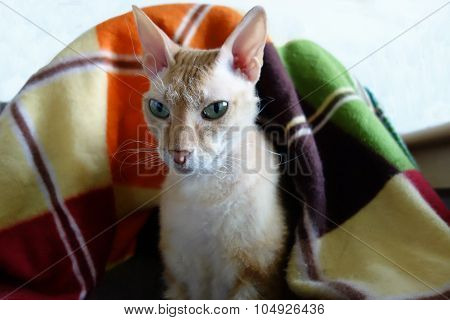 Orange And White  Sphynx Cat Sitting In A Basket