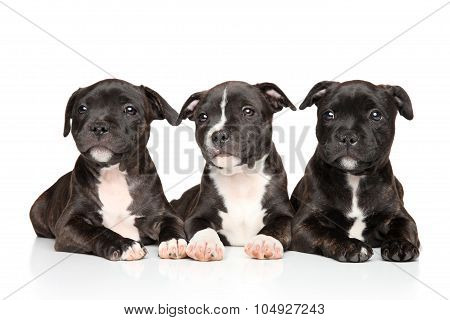 Staffordshire Bull Terrier Puppies Lying Down