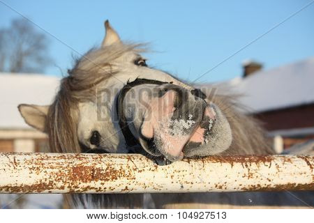 Cute Gray Shetland Pony Portrait
