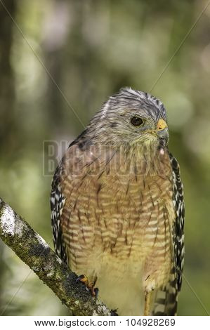 Red_shouldered Hawk