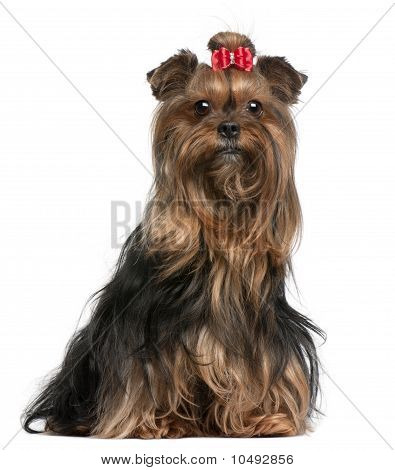 Yorkshire Terrier Wearing Red Bow, 9 Years Old, Sitting In Front Of White Background