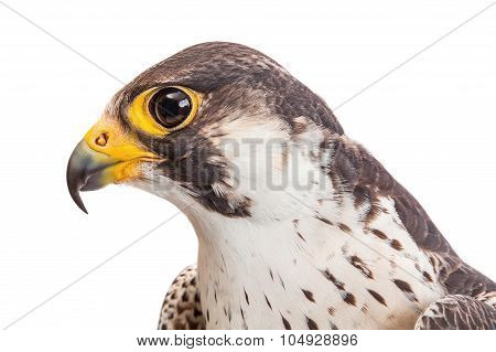 Macro Of The Head Of Falcon Profile Isolated On White