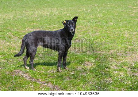 Sterile stray black dog