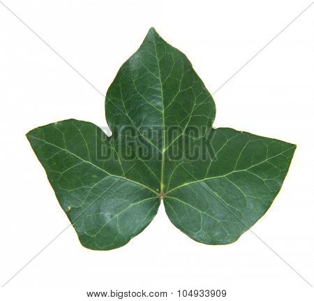 Single ivy leaf. All on white background