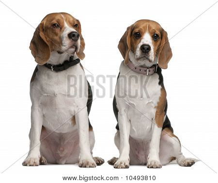 Beagles, 1 And 3 Years Old, Sitting In Front Of White Background