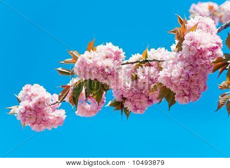 Pink  Japanese Cherry Blossom