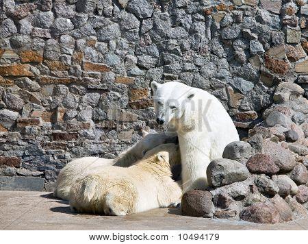 The white she-bear feeds newborn bear cubs with milk