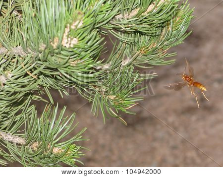 Stinging wasp near pine tree