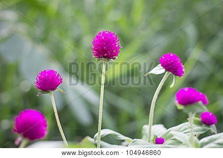 Globe amaranth