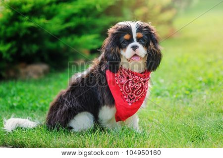 cavalier king charles spaniel male dog relaxing and sitting in summer garden