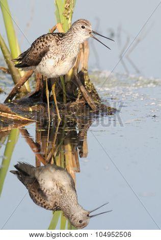 Crying Marsh Sandpiper In The Marsh
