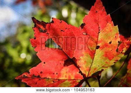 Closeup of Red Mottled Maple Leaf